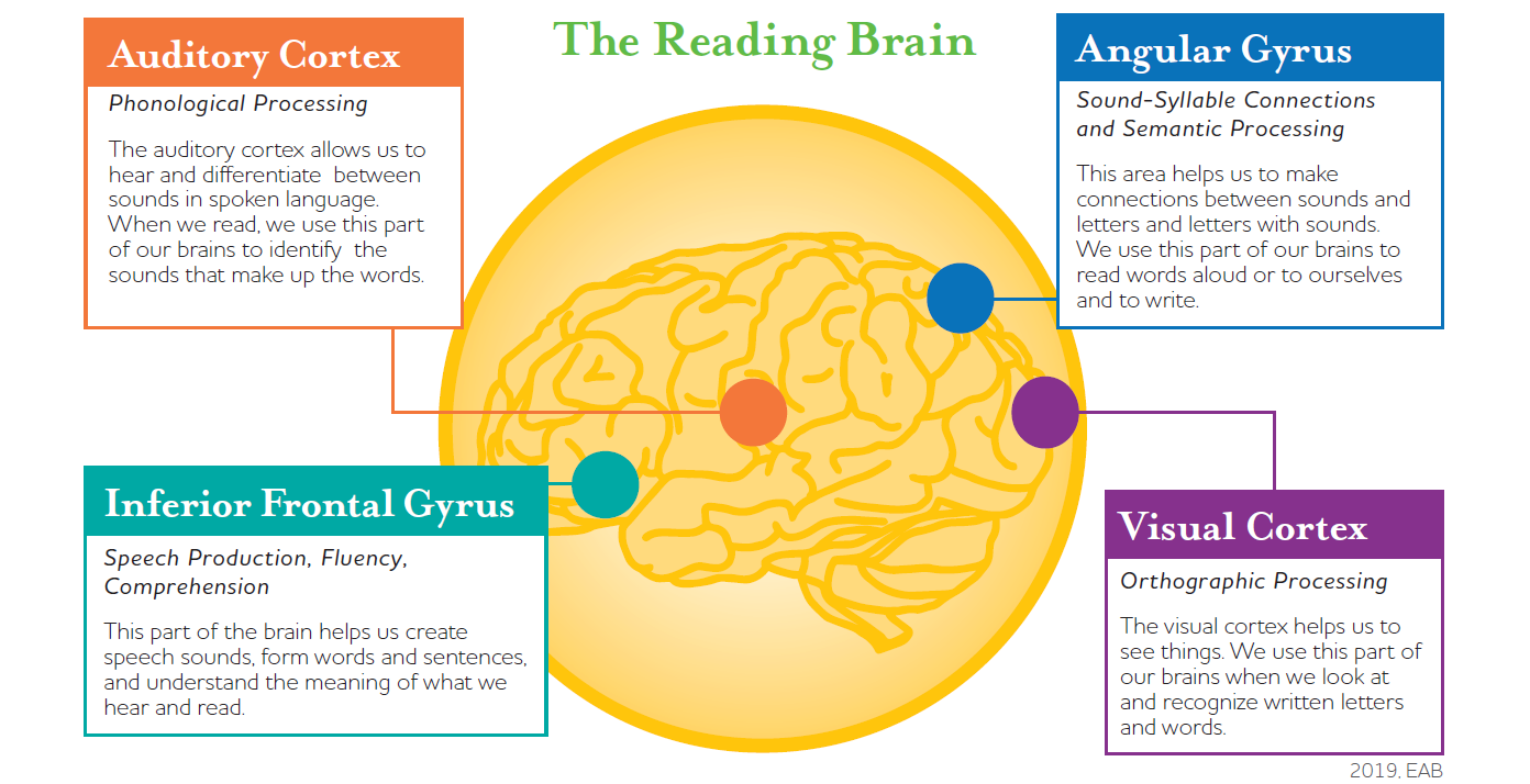The Reading Brain